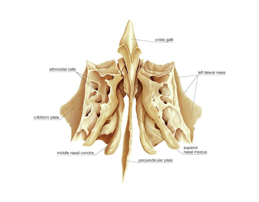 Ethmoidal Bone Photograph By Asklepios Medical Atlas