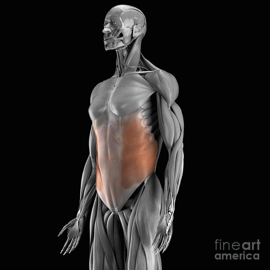 External Oblique Muscle Photograph By Science Picture Co