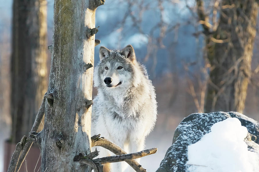 Female Gray Wolf  Canis Lupus by Doug Lindstrand