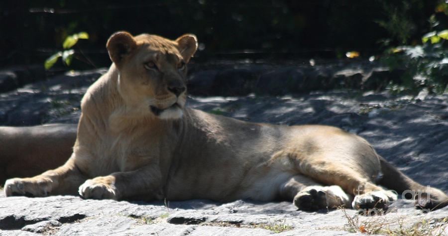 Female Lion Photograph - Female Lion by John Telfer
