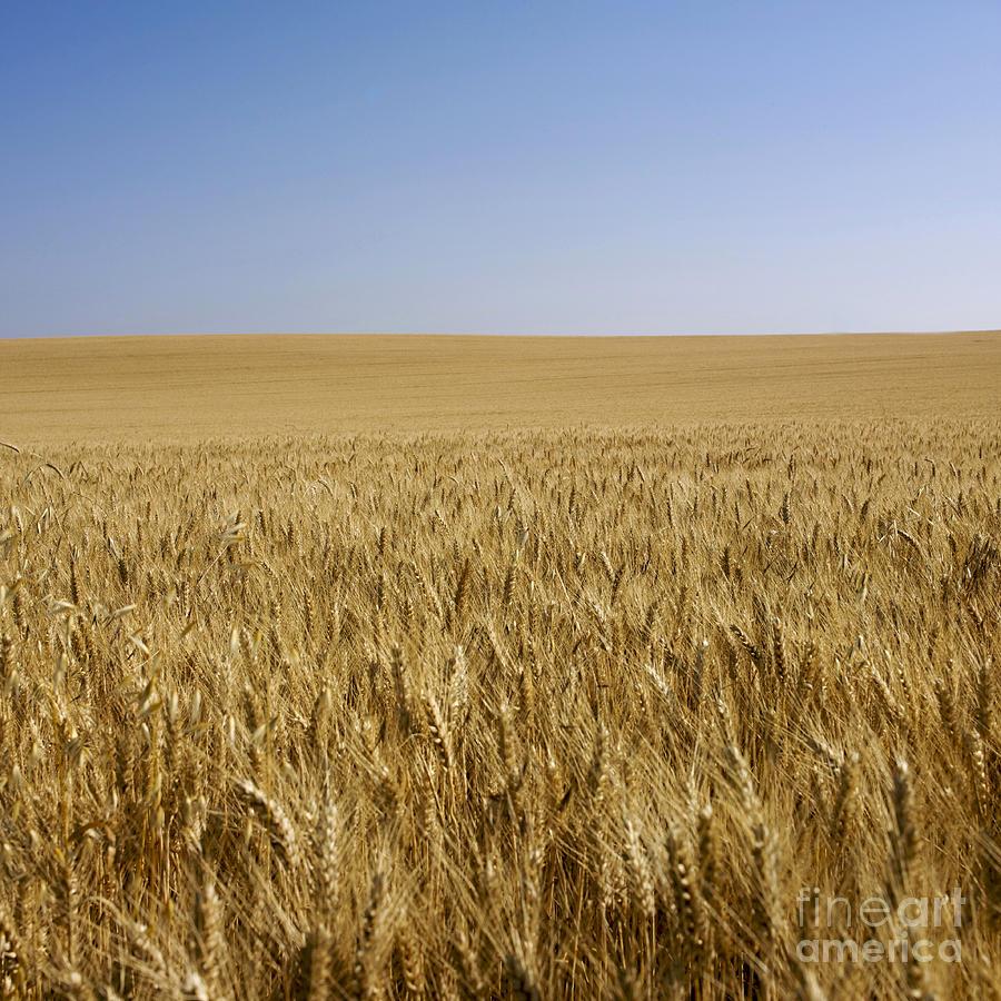 Blond Photograph - Field Of Wheat by Bernard Jaubert