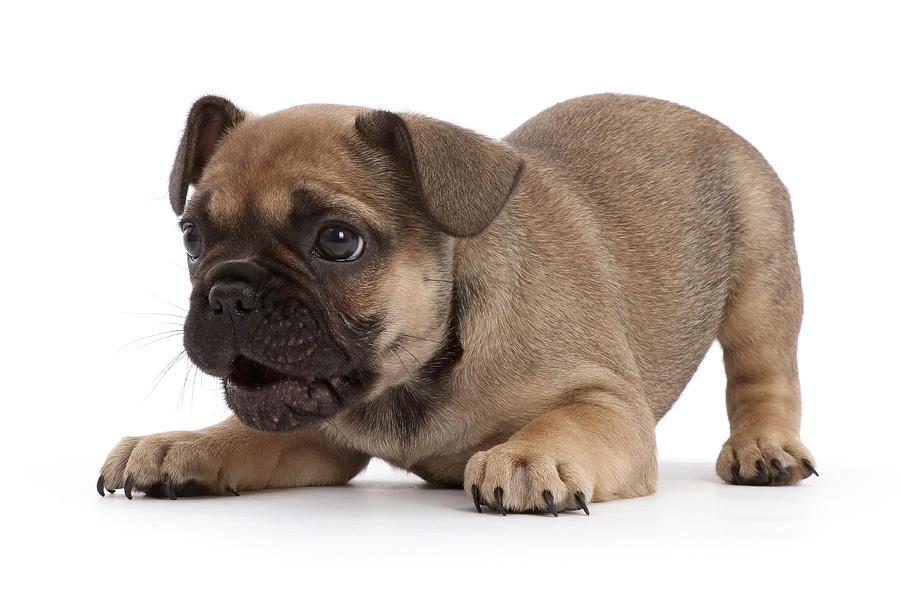French Bulldog Puppy 6 Weeks Old