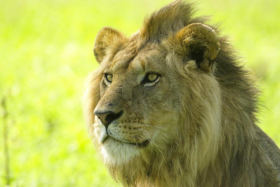 Lion Photograph - Golden Boy by Michele Burgess