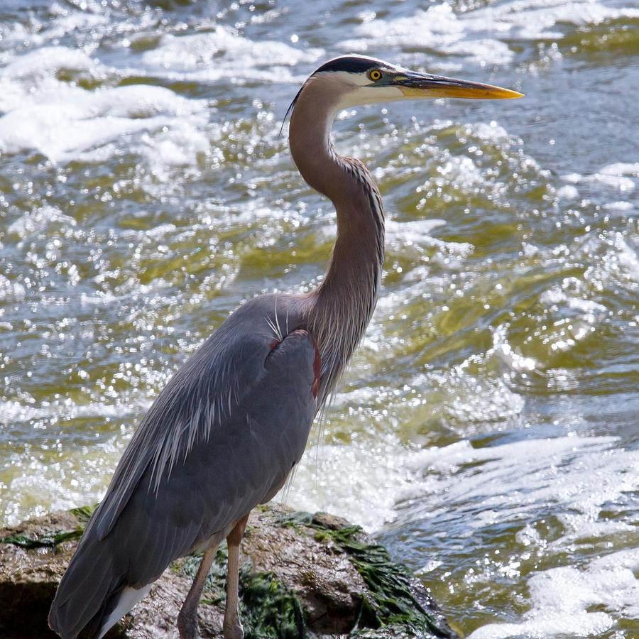 Water Photograph - Great Blue Heron Fishing by Roger Gallamore