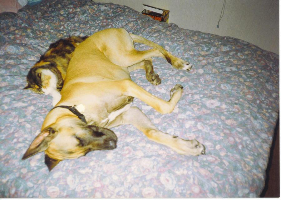 Nap Time Photograph - Great Dane And Calico Cat by Robert Floyd