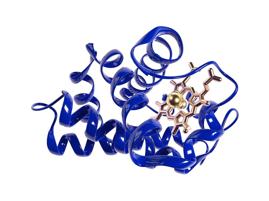 Alpha Helix Photograph - Haemoglobin Molecule by Science Photo Library