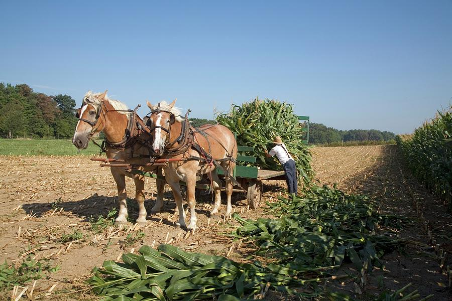 Animal Photograph - Harvest On An Amish Farm by Jim West