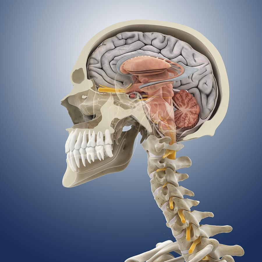 Head And Neck Anatomy Artwork Photograph By Science Photo Library