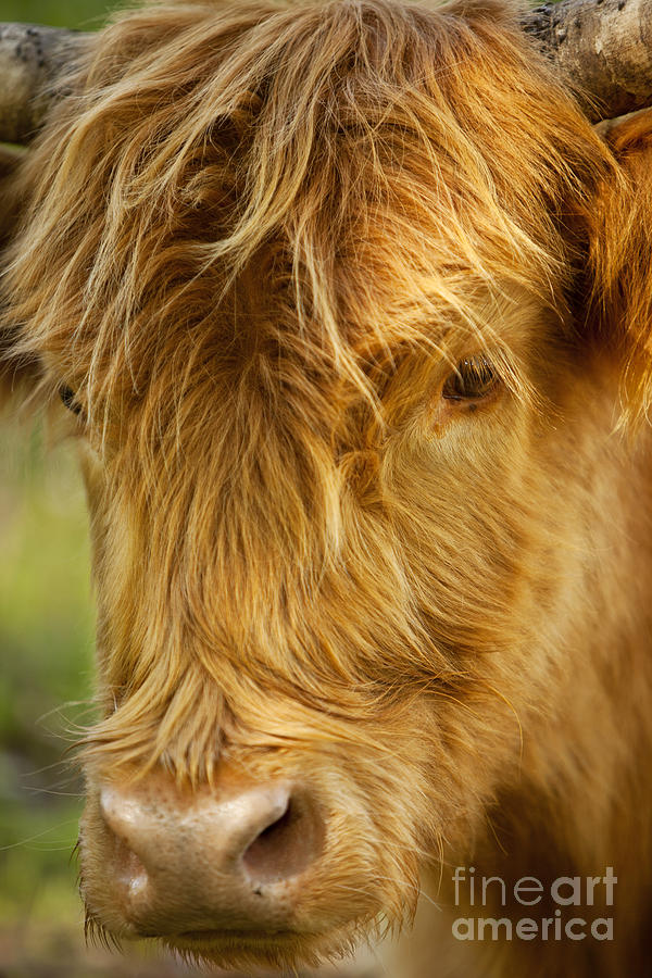 Scottish Photograph - Highland Cow by Brian Jannsen