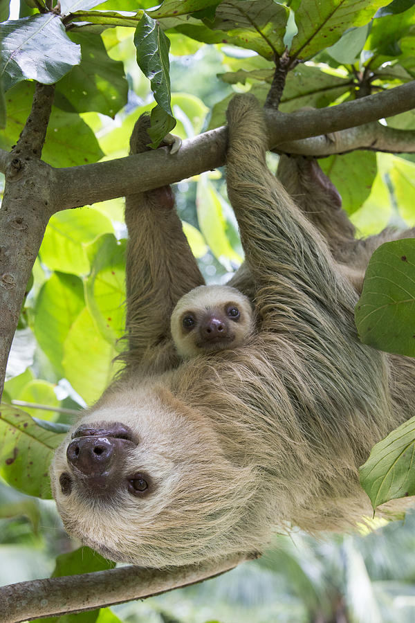 Adult Photograph - Hoffmanns Two-toed Sloth And Old Baby by Suzi Eszterhas