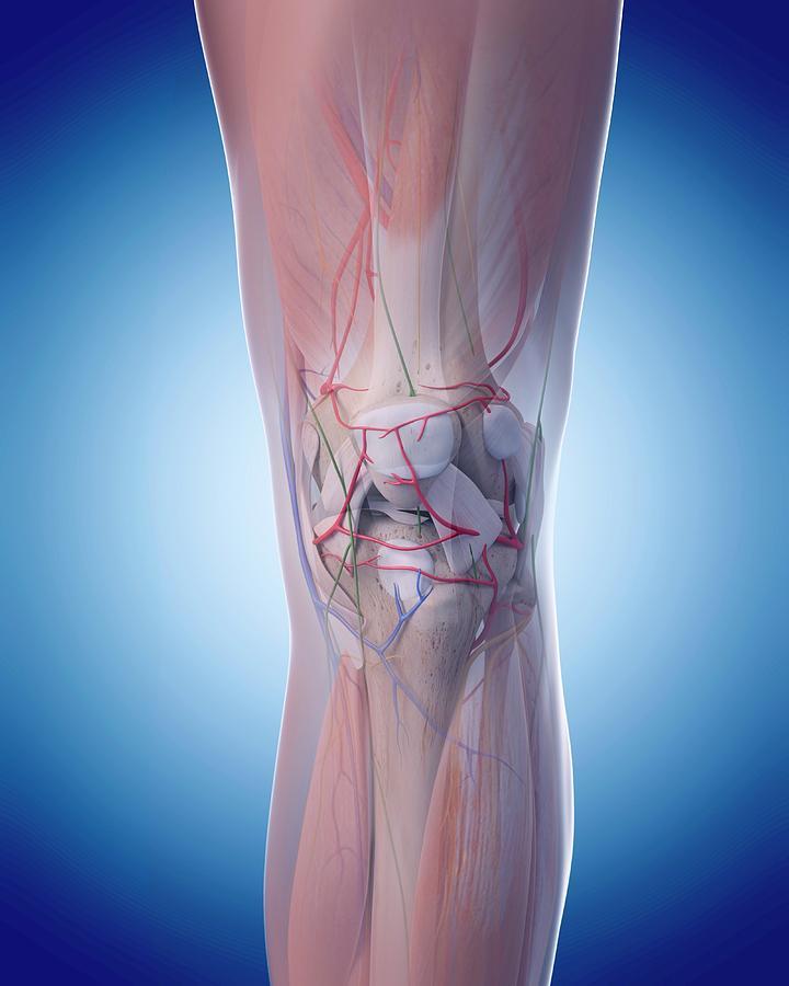 Human Knee Anatomy Photograph By Sebastian Kaulitzkiscience Photo