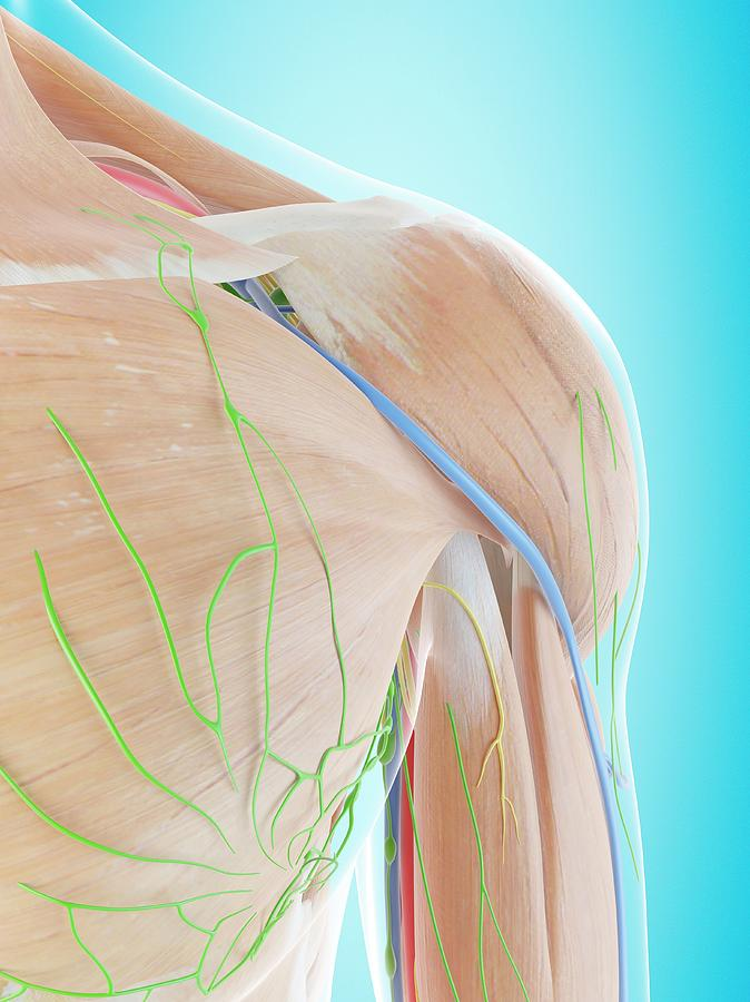 Artwork Photograph - Human Shoulder Anatomy by Sciepro