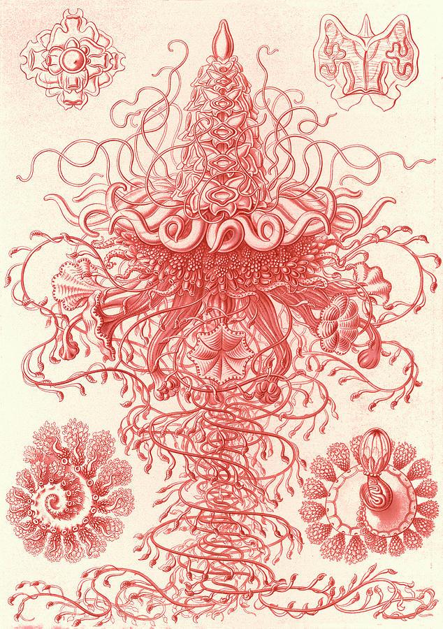Illustration Drawing - Illustration Shows Marine Invertebrates. Siphonophorae by Artokoloro