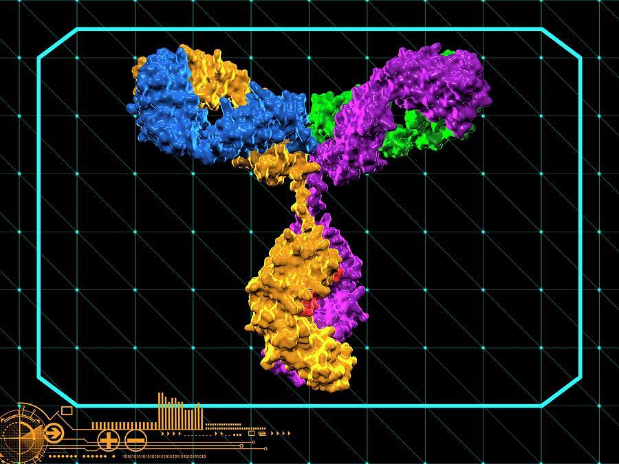 Immunoglobulin G Antibody Molecule