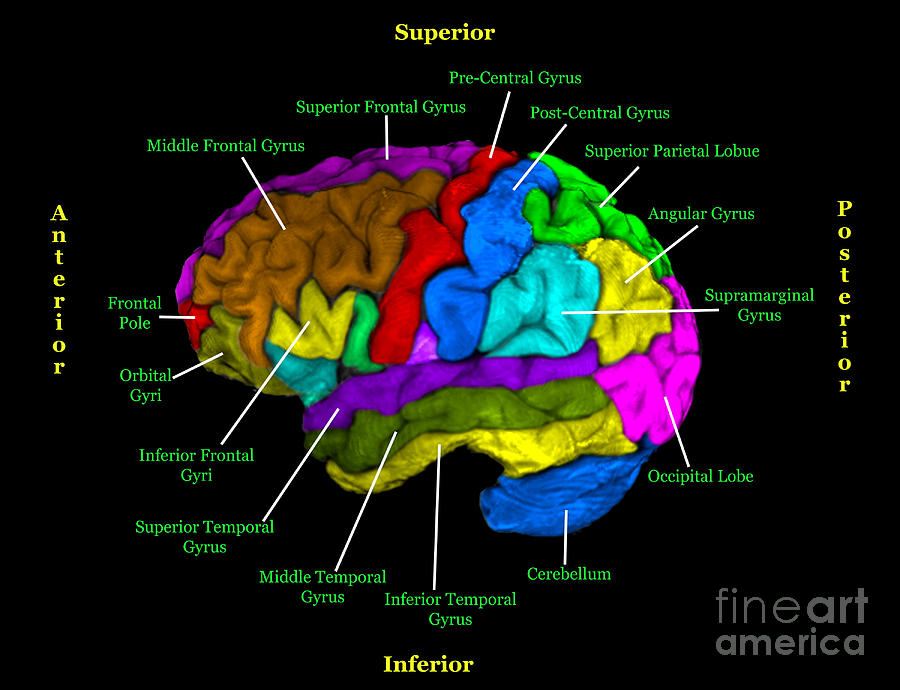 Labeled Mri Of Normal Brain Photograph by Living Art ...