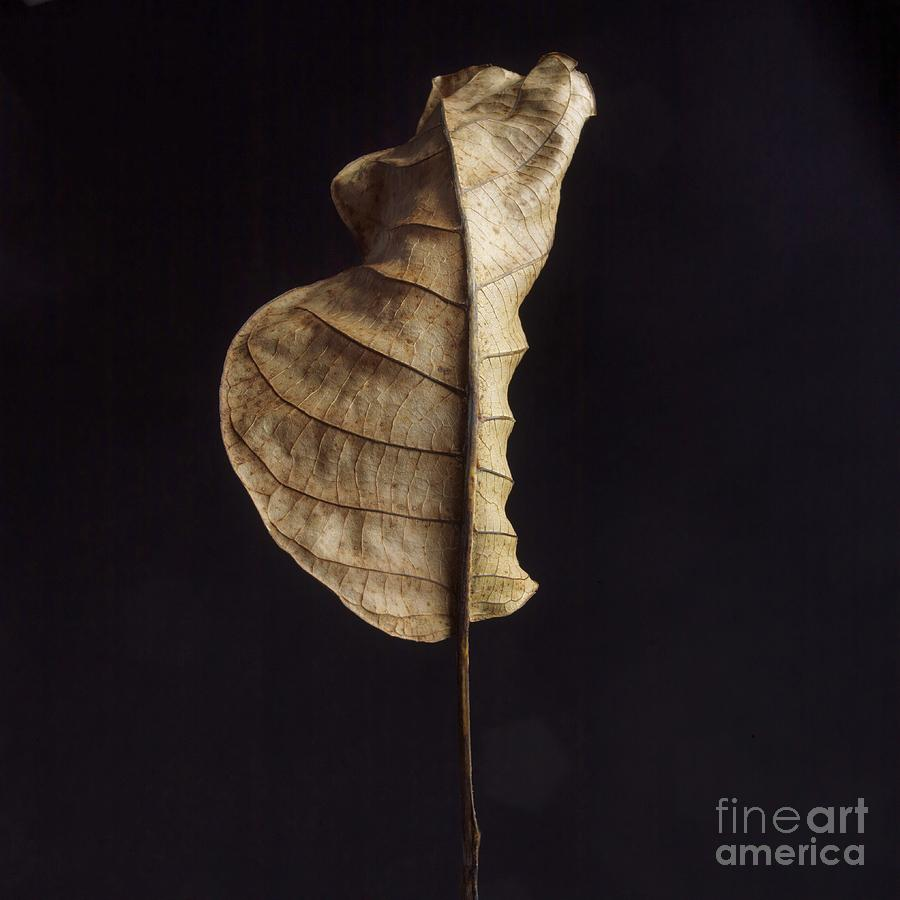 Studio Shot Photograph - Leaf by Bernard Jaubert