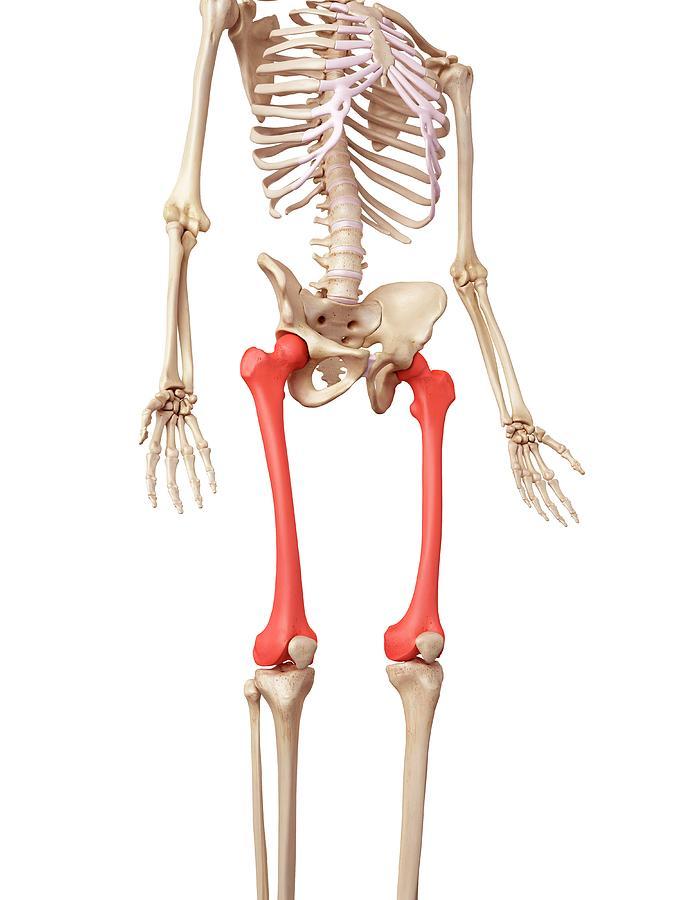 Artwork Photograph - Leg Bones by Sebastian Kaulitzki/science Photo Library