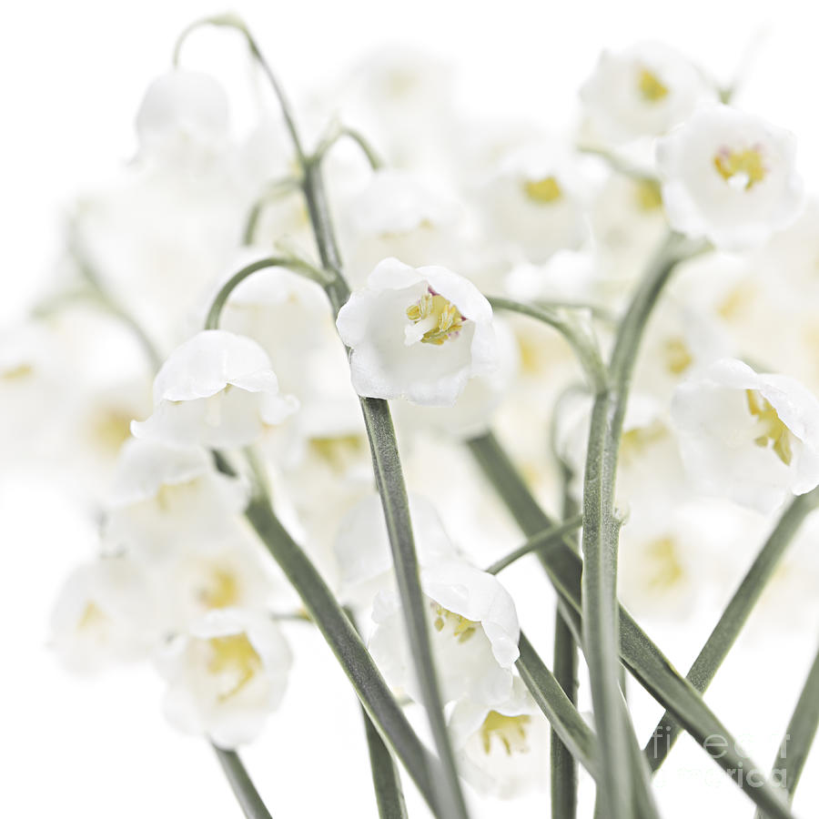 Lily Of The Valley Flowers Photograph By Elena Elisseeva