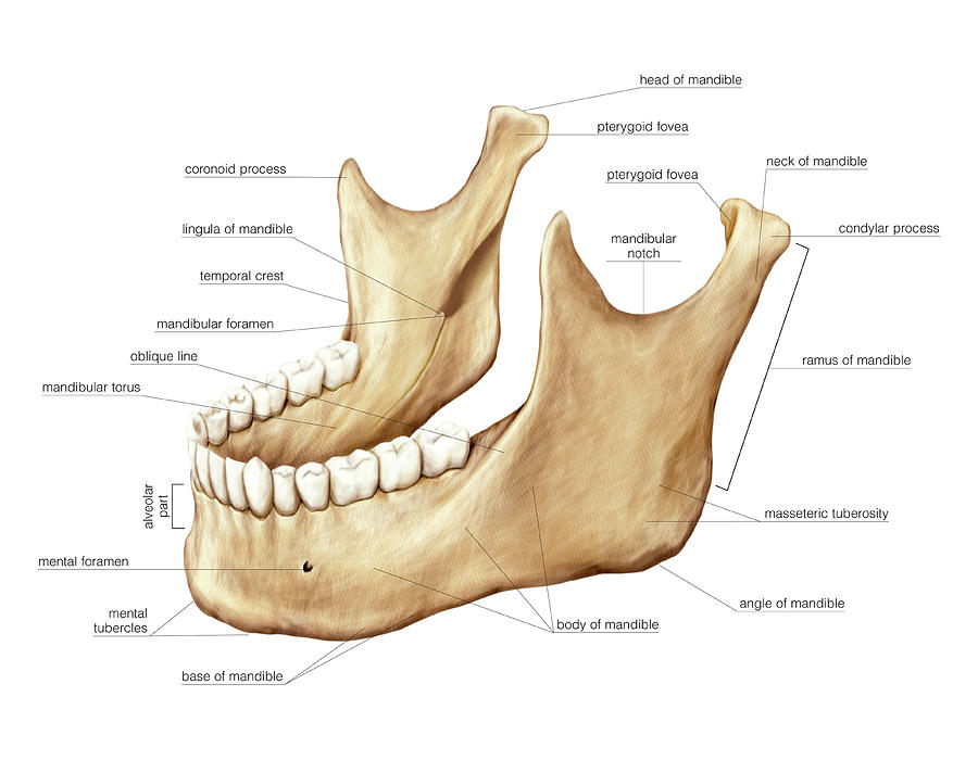Mandible Photograph By Asklepios Medical Atlas