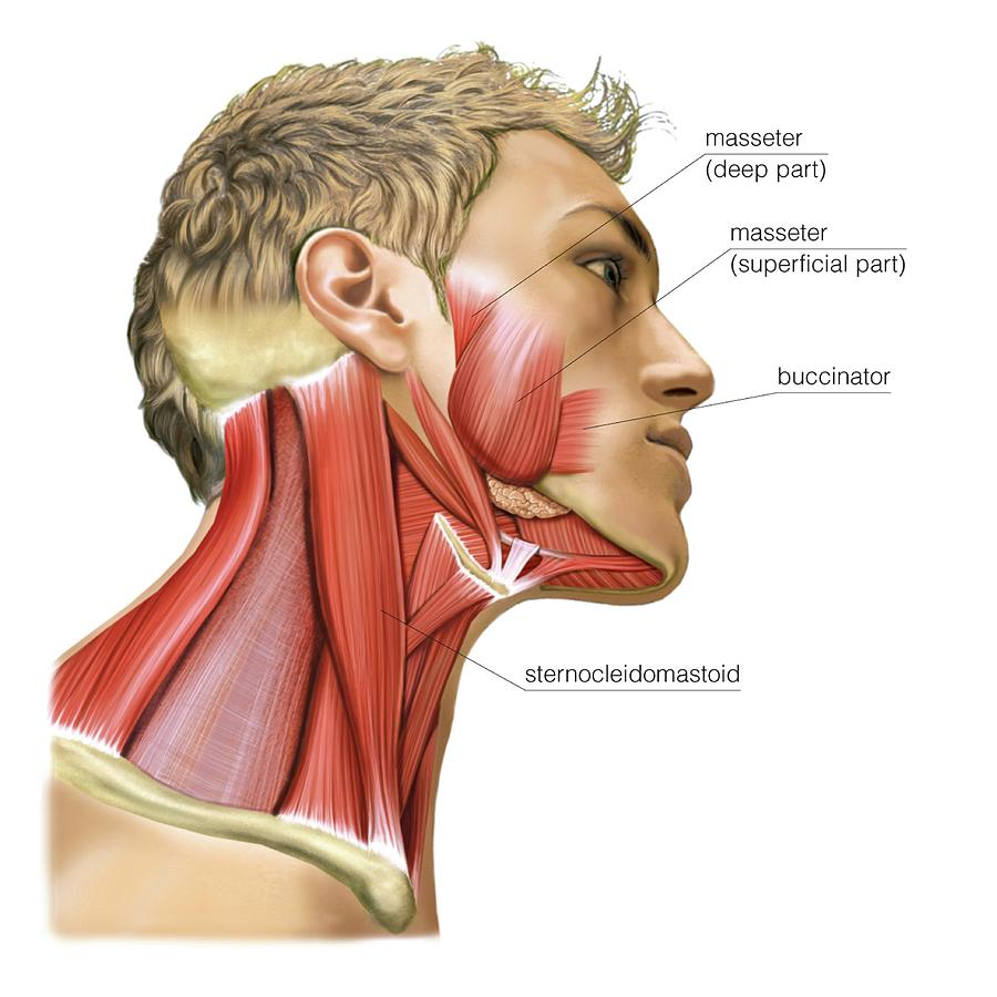 Masticatory Muscles Photograph by Asklepios Medical Atlas