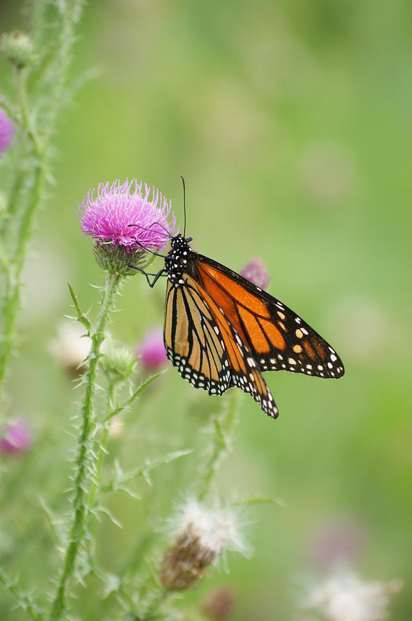 North America Photograph - Monarch Butterfly by Heidi Poulin
