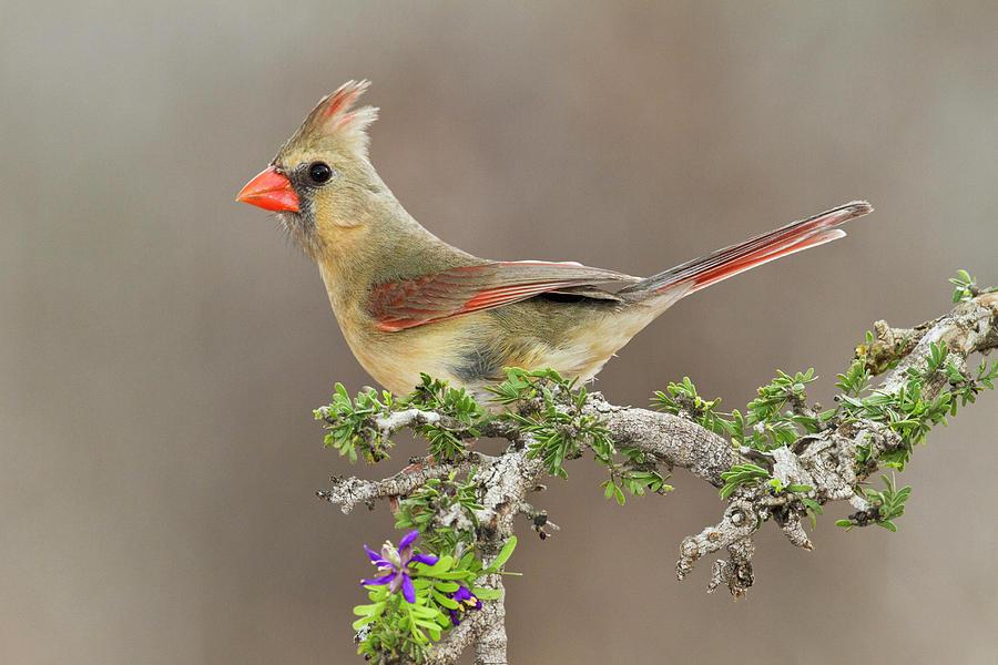 Bird Photograph - Northern Cardinal (cardinalis Cardinalis by Larry Ditto