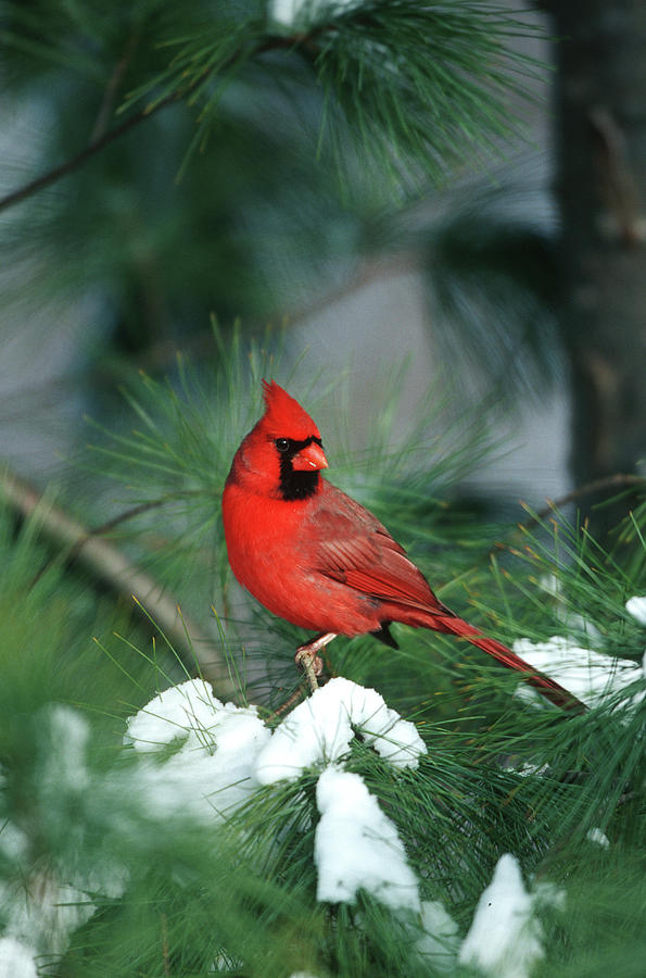 Avian Photograph - Northern Cardinal (cardinalis Cardinalis by Richard and Susan Day