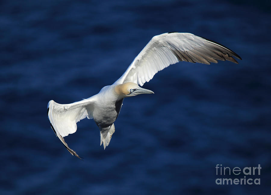 Northern Gannet in flight by Maria Gaellman