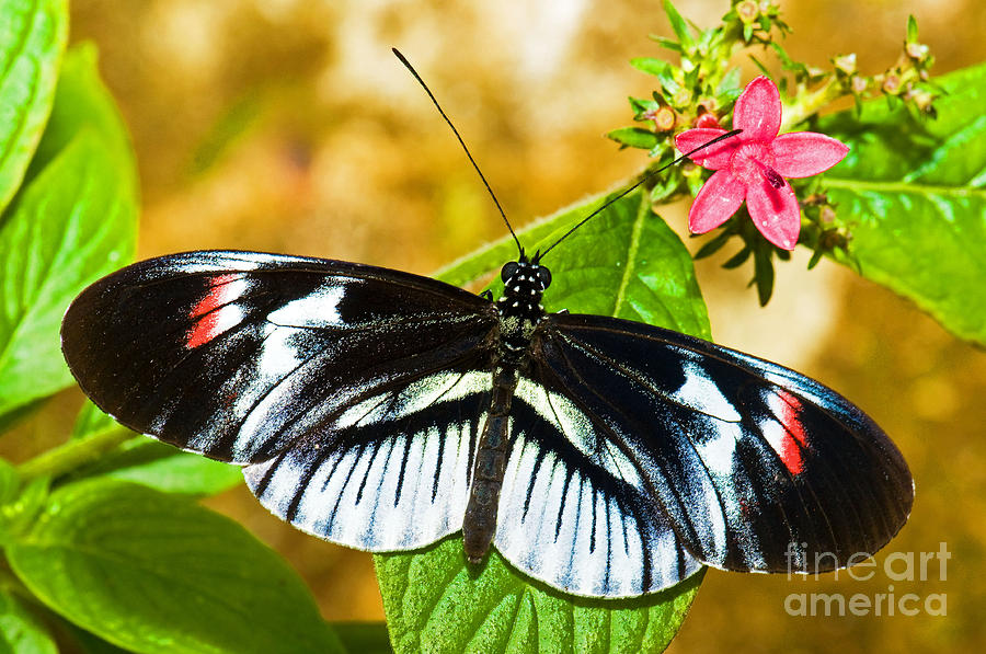Nature Photograph - Piano Key Butterfly by Millard H. Sharp