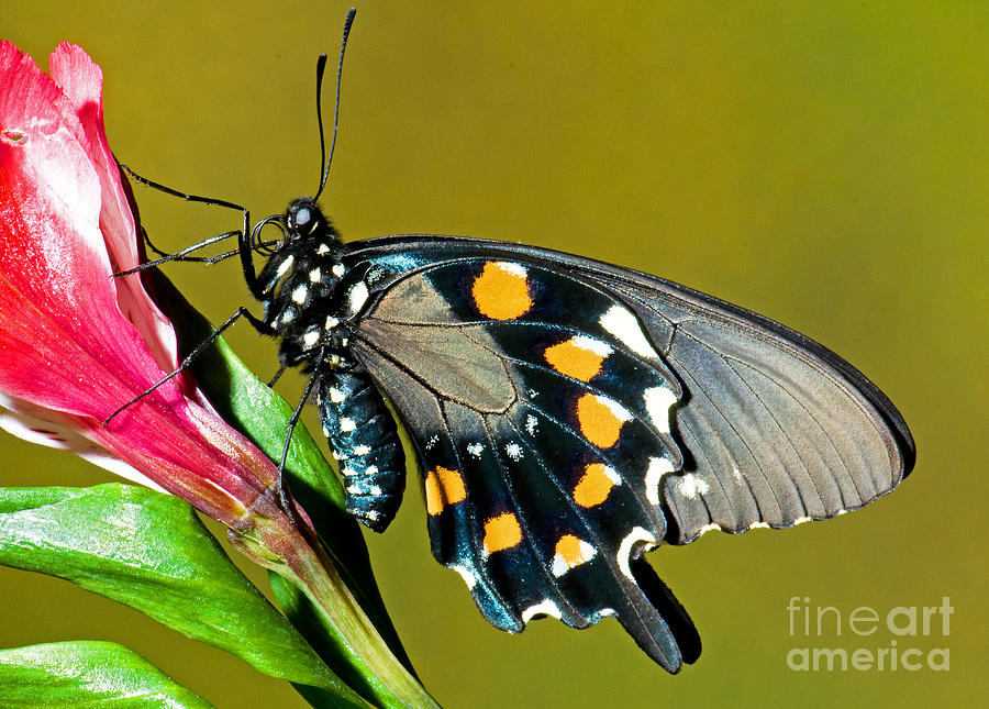 Nature Photograph - Pipevine Swallowtail Butterfly by Millard H. Sharp