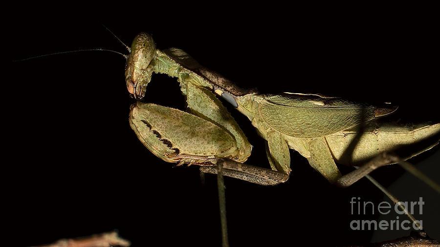 Praying mantis by Mareko Marciniak