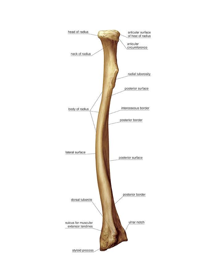Anatomy of radius bone