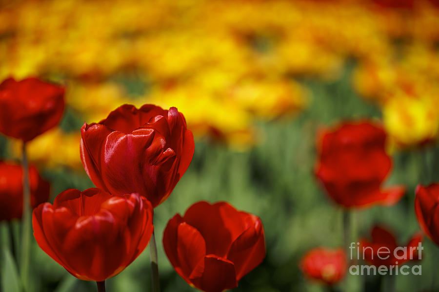 Red And Yellow Tulips Photograph
