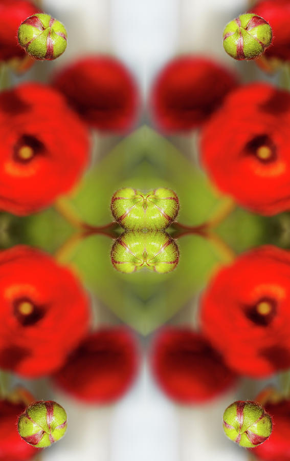 Red Ranunculus Photograph by Silvia Otte