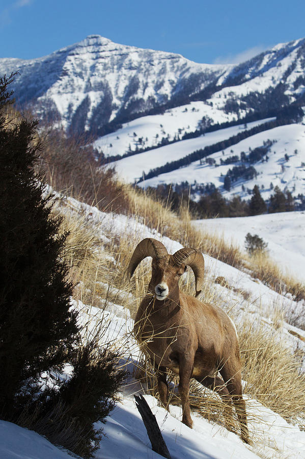 Bighorn Sheep Photograph - Rocky Mountain Bighorn Sheep Ram by Ken Archer