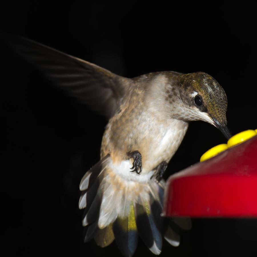 Ruby-throated Hummingbird Photograph - Ruby Throated Hummingbird by Robert L Jackson