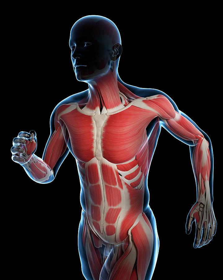 Artwork Photograph - Runner Muscles by Sciepro/science Photo Library