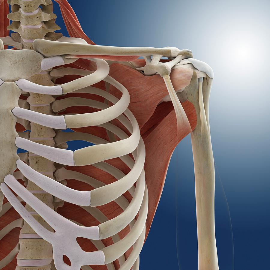 Bone Photograph - Shoulder Anatomy by Springer Medizin