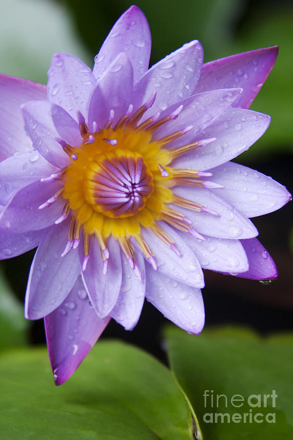The Lotus Flower Photograph