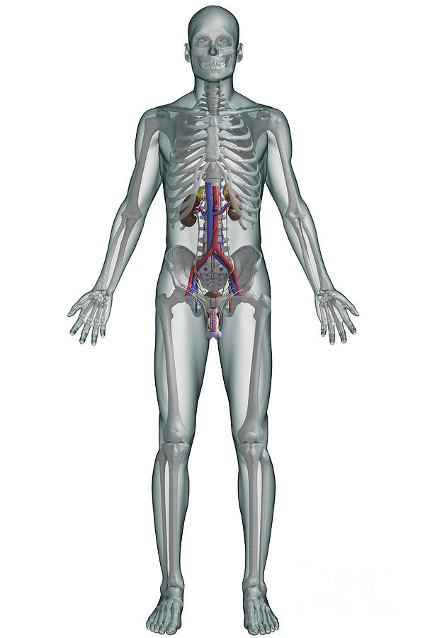 The Urinary System Male Photograph By Science Picture Co