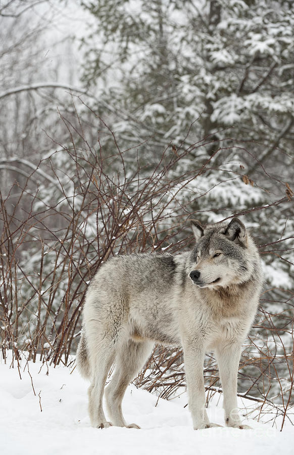 Timber Wolf Pictures Photograph - Timber Wolf In Winter by Wolves Only