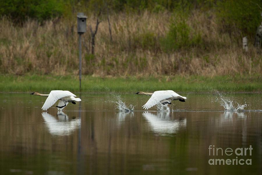 Anatidae Photograph - Trumpeter Swans Cygnus Buccinator by Linda Freshwaters Arndt