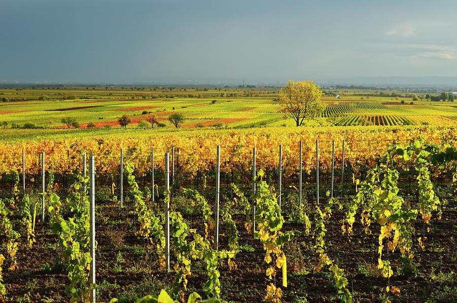 Vineyard Landscape Photograph by Jochen Schlenker