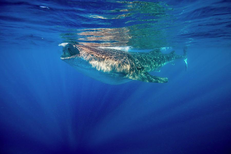 Isla Mujeres Photograph - Whale Shark In Isla Mujeres, Mexico by Jennifor Idol