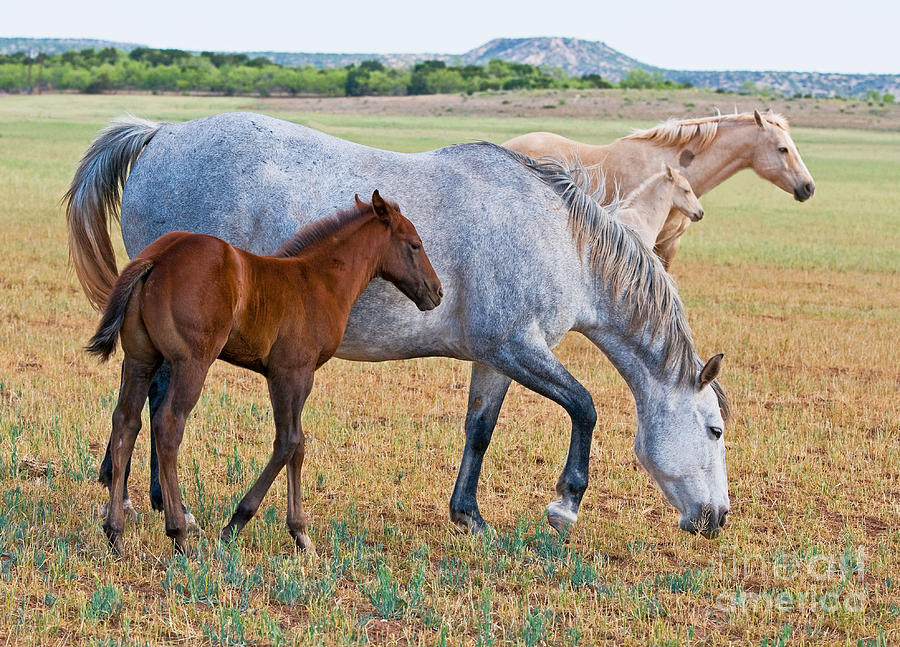 Nature Photograph - Wild Horse Mother And Foal by Millard H Sharp