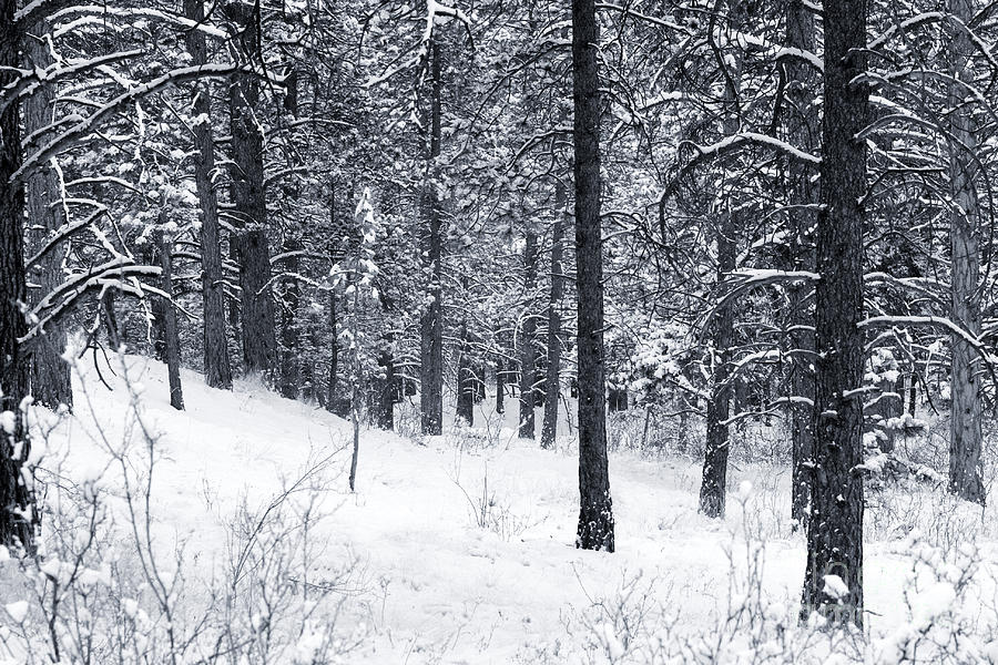 Winter In Pike National Forest Photograph