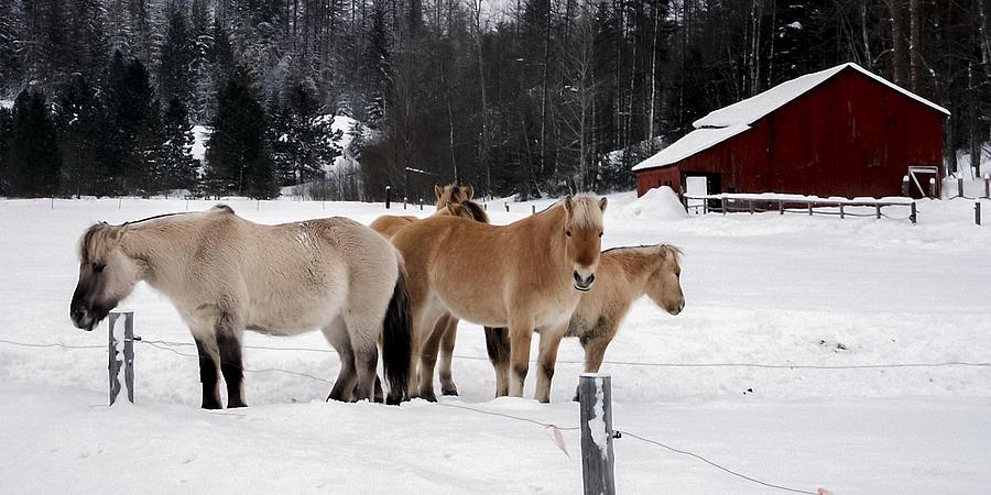 Norwegian Photograph - 40104-5 Norwegian Horses by Albert Seger