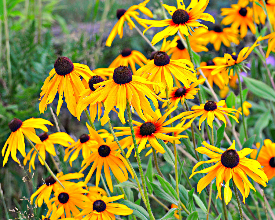 Black Eyed Susan Photograph - 4115 by Marty Koch