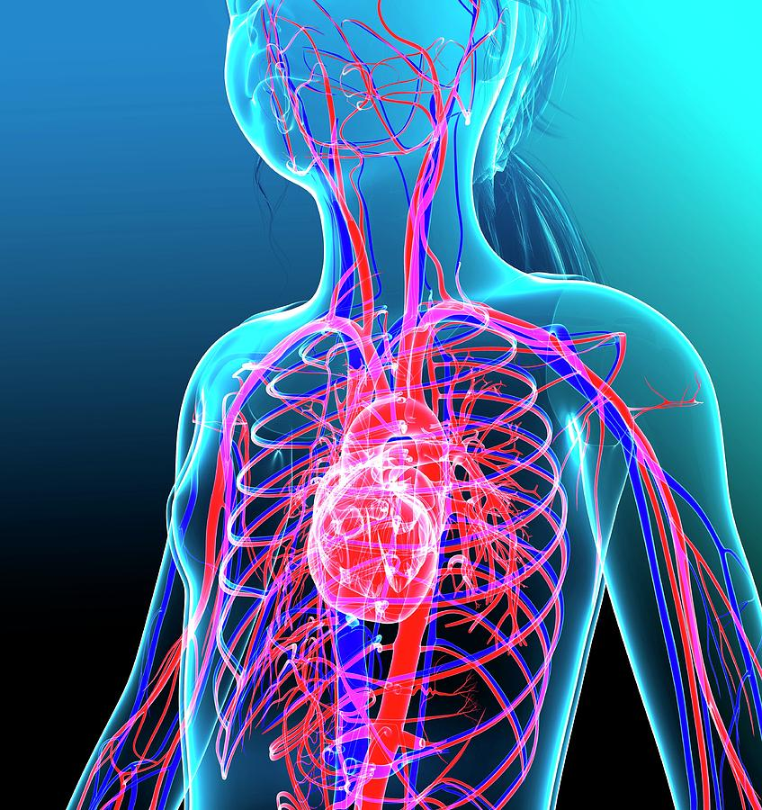 Artwork Photograph - Human Cardiovascular System by Pixologicstudio/science Photo Library