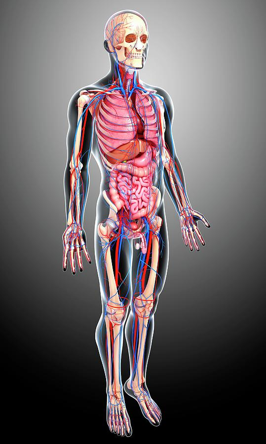 Artwork Photograph - Male Anatomy by Pixologicstudio/science Photo Library